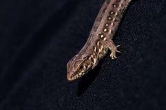 Brown jaszczurki Lacerta agilis Zdjęcie Royalty Free