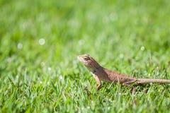 Brown jaszczurki pozycja na trawie z bokeh Zdjęcie Stock