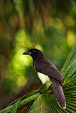 Brown Jay, Cyanocorax morio, bird from green Belize forest, in the tree nature habitat, light in the background Stock Image