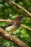 Brown Jay, Cyanocorax morio, bird from green Costa Rica forest, in the tree habitat Stock Photography