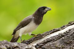 Brown Jay, Cyanocorax morio, bird from green Costa Rica forest, in the tree habitat. Detail of tropic bird. Big palm tree leave wi Stock Images