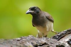 Brown Jay, Cyanocorax morio, ptak od zielonego Costa Rica lasu w drzewnym siedlisku, Szczegół zwrotnika ptak Ptak w zielonym lesi Zdjęcia Royalty Free