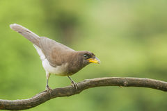 Brown Jay Wary. Brown Jay perched on a branch in Costa Rica Stock Photos