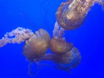 Brown jellyfish in a blue water stock photo