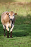 Brown Jersey Cow in a grassy field Royalty Free Stock Photography