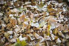 Brown jesieni liście Obrazy Stock