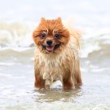 Brown joven Pomeranian Fotografía de archivo