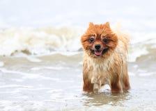 Brown joven Pomeranian Foto de archivo libre de regalías