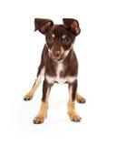 Brown juguetón y situación blanca del perrito Imagen de archivo