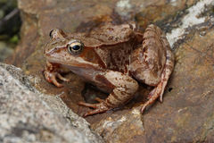 brown jumper frog Stock Photos