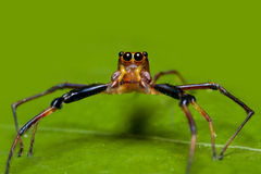 Brown jumper spider Royalty Free Stock Image