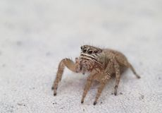Brown jumping spider alone. A brown jumping spider alone Royalty Free Stock Images