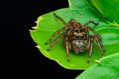 Brown Jumping Spider on Green Leaf Plant royalty free stock photography