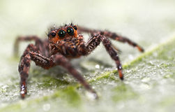 Brown Jumping Spider Royalty Free Stock Photography