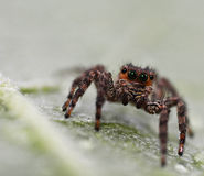 Brown Jumping Spider Royalty Free Stock Photo