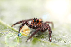 Brown Jumping Spider Stock Images