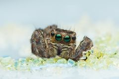 Brown Jumping Spider in Macro Photography stock photo