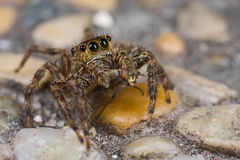 A brown jumping spider with prey - a long legged f Royalty Free Stock Images