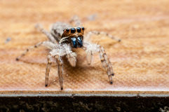 Brown jumping spider Stock Photography