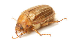Brown june beetle Royalty Free Stock Images