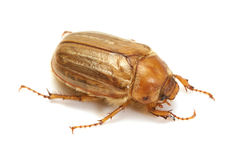 Brown june beetle Royalty Free Stock Photos