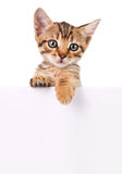 Brown-Kätzchen mit leerem Brett Lizenzfreie Stockbilder