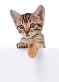 Brown-Kätzchen mit leerem Brett Lizenzfreie Stockfotografie