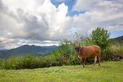 Brown-Kühe Stockfotos