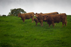 Brown-Kühe auf Abhang in Irland Stockfotografie