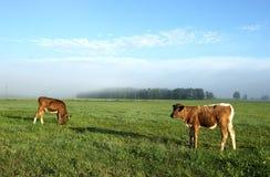 Brown-Kühe auf dem Feld Lizenzfreies Stockbild