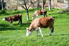 Brown-Kühe auf dem Feld Lizenzfreies Stockfoto