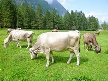 Brown-Kühe in der Alpenwiese in Engelberg Lizenzfreie Stockfotos