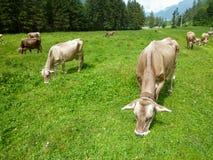 Brown-Kühe in der Alpenwiese in Engelberg Lizenzfreies Stockfoto