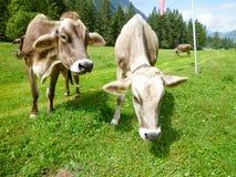 Brown-Kühe in der Alpenwiese in Engelberg Stockfotografie