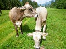 Brown-Kühe in der Alpenwiese in Engelberg Stockbilder
