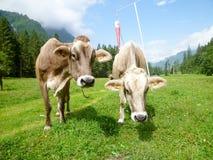 Brown-Kühe in der Alpenwiese in Engelberg Stockfoto