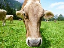 Brown-Kühe in der Alpenwiese in Engelberg Stockfotos
