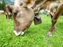 Brown-Kühe in der Alpenwiese in Engelberg Lizenzfreie Stockbilder