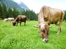 Brown-Kühe in der Alpenwiese in Engelberg Stockbild