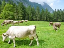Brown-Kühe in der Alpenwiese in Engelberg Lizenzfreie Stockfotografie