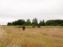 Brown-Kühe in einem FeldAckerland bedecken Wiesenüberwendlingsnaht mit Gras Lizenzfreie Stockfotografie
