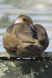 Brown kaczka z czerwonym belfrem odpoczywa w parkowym jeziorze z miękką ostrością w tle zdjęcia royalty free