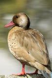 Brown kaczka z czerwonym belfrem w parkowym jeziorze z miękką ostrością w tle obraz stock