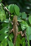 Brown kameleon na gwiazdowym owocowym drzewie zdjęcia stock