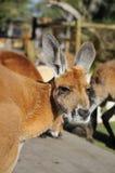 Brown kangaroo Stock Photography