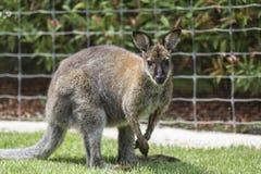 Brown Kangaroo Stock Images