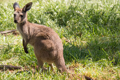 Brown kangaroo in wildlife conservation, Australia. Royalty Free Stock Image