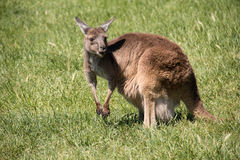 Brown kangaroo in wildlife conservation, Australia. Stock Photos