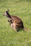 Brown kangaroo in wildlife conservation, Australia. Stock Photos