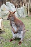 Brown kangur, ostrości zakończenie Fotografia Royalty Free